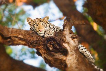 Luipaard in boom van Nicole Jagerman