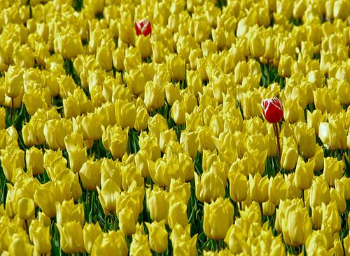 Bloemen/Tulpen
