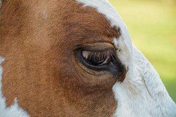 Koe roodbonte detail van de kop en het oog van Yvonne van Driel