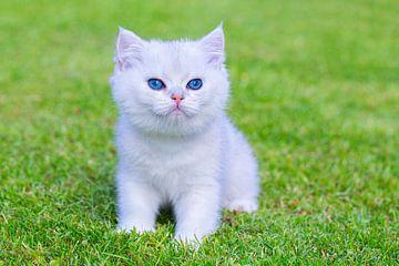 Junge weiße Katze des kurzen Haares sitzt auf grünem Rasen von Ben Schonewille