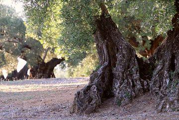 Olivenbäume von Jan Katuin