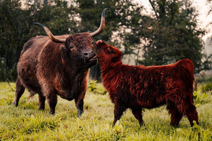 Een Schotse Hooglander met een kalf van Nando Foto