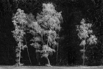 Berken bedekt met rijp voor een donker bos van Denis Feiner