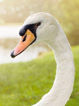 Portret van een zwaan van Dominique van Ojik