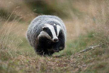 European Badger *Meles meles* van