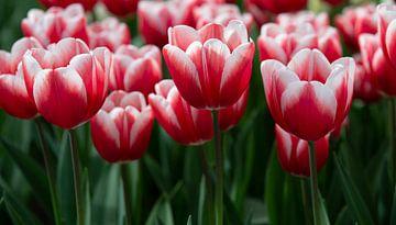 Rote und weiße Tulpen von Harold Versteeg
