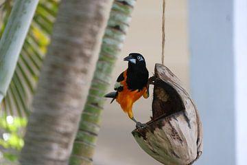 Trupiaal doet aan yoga op een kokosnoot op Bonaire. van Silvia Weenink
