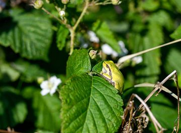 Laubfrosch von Merijn Loch