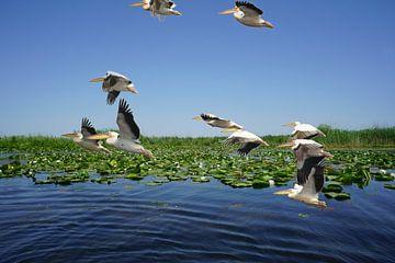 pelikanen in de Donaudelta van Stefan Havadi-Nagy