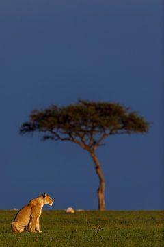 Leeuwin in het vroege ochtendlicht (Masai Mara, Kenia) van