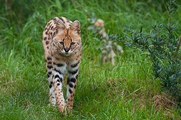 Serval : Diergaarde Blijdorp van Loek Lobel