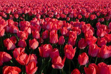 Volle rote Tulpen von Yvonne Verlaan