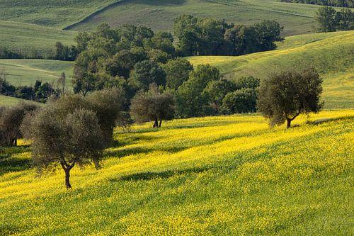 Olivenhain in der Toskana von