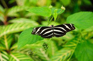 Macrofoto van de zebravlinder van