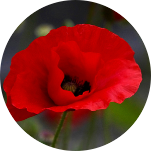 Mohnblüte van Isa Bild