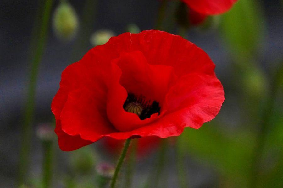 Mohnblüte von Isa Bild