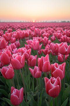 Tulpen in Nederland sur Peter de Jong