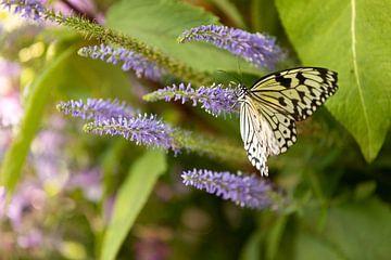 Tropische vlinder op bloem van Marijke van Eijkeren