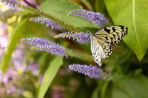 Tropische vlinder op bloem van