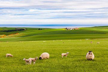 Schafherde auf der Weide in Schottland von Werner Dieterich