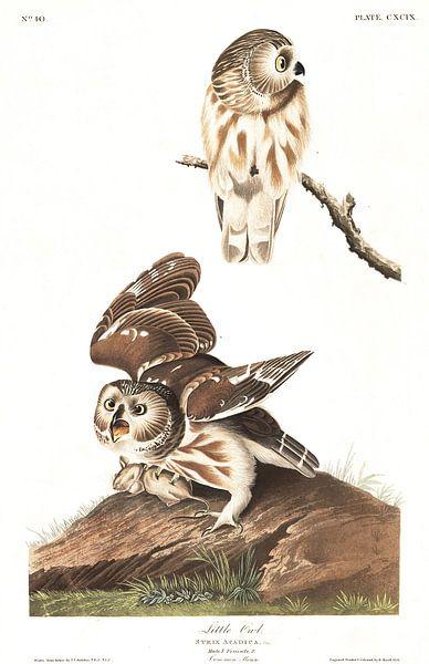 Steenuil van Birds of America