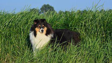 Hund / Sheltie von johanna hibma