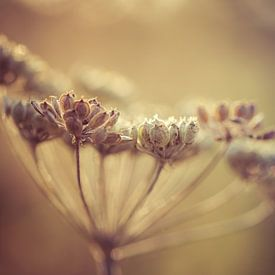 Wilde Karotte in der Sonne von Tim Abeln