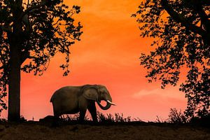 Afrikaanse olifant bij zonsondergang