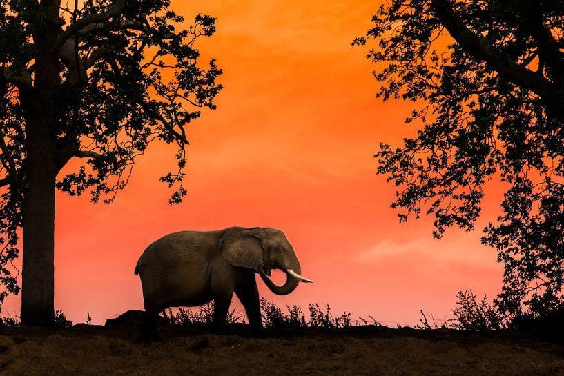 Afrikaanse olifant bij zonsondergang van Stefan Zwijsen