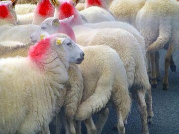 Sheeps Scotland van