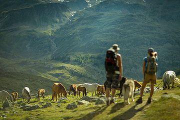 Wildpferde in den Schweizer Bergen bei Sankt-Moritz von Sébastiaan Stevens