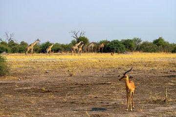Familie Giraf van Merijn Loch