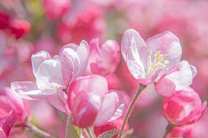 Blumen eines dekorativen Apfelbaums von