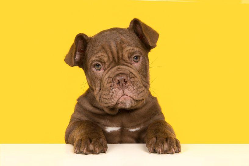 Old English bulldog puppy van Elles Rijsdijk