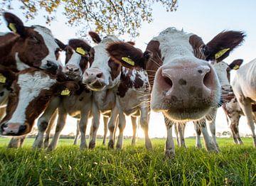 Nieuwsgierige koeien von