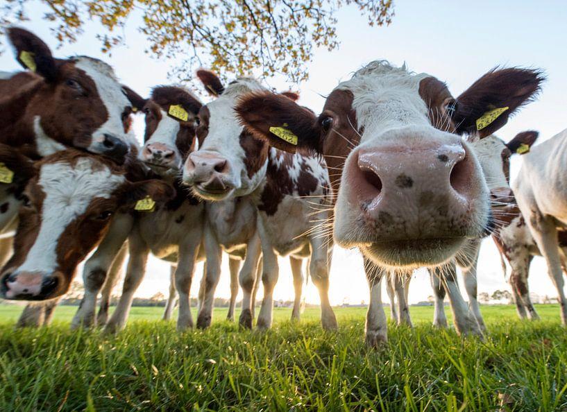 Nieuwsgierige koeien van Rob Herstel