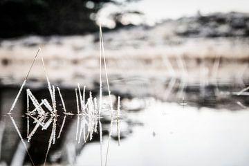 rietjes in een bevroren laagje ijs van Studio de Waay