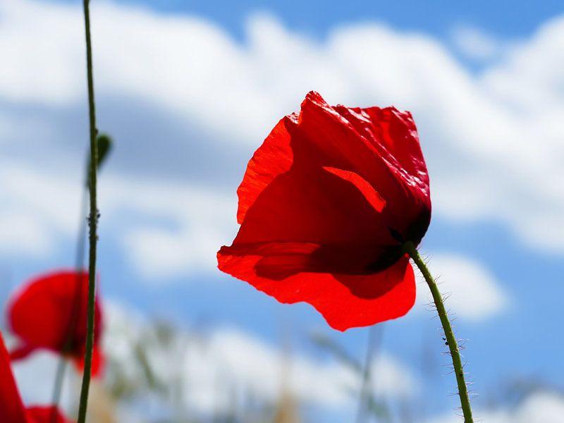 Poppies in the summer 5 van brava64 - Gabi Hampe