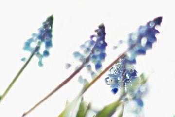 Lente bloemen / Blauw Druifje von Marianna Pobedimova