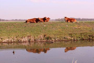 Koeien op de dijk, weerspiegeld in het wateer sur Deborah S