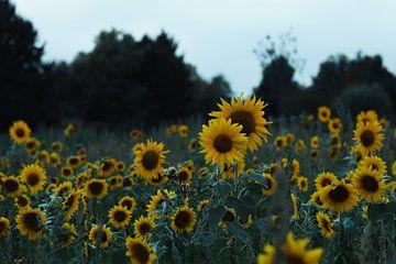 Sonnenblumen-Garten von iris hensen