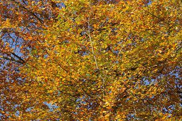 Bunt verfärbtes Herbstlaub an an einer Buche , Deutschland