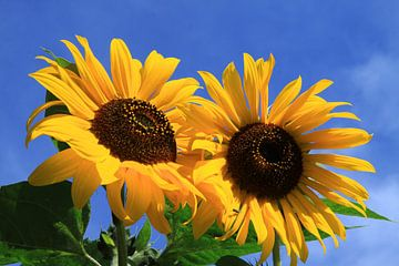 Zwei Sonnenblumen von Karina Baumgart