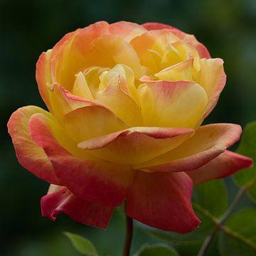 Rosa und Gelb in einer Rose von J..M de Jong-Jansen