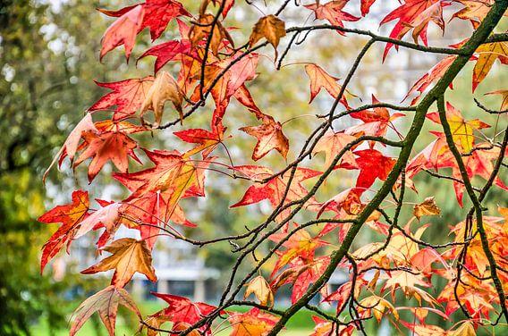 Amberbladeren in het Park