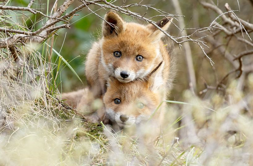 Spelende welpen van vossen van Menno Schaefer