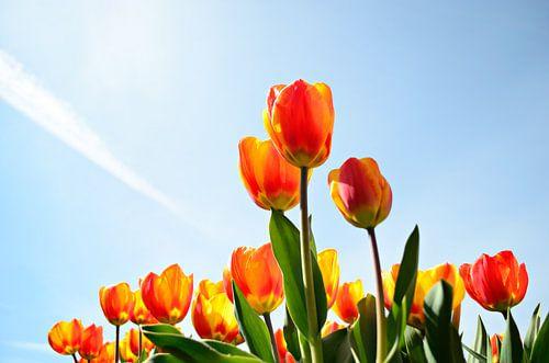 Tulpen tegen een blauwe lucht vanaf een laag standpunt van iPics Photography