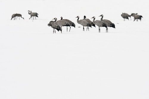 Kraanvogels in de sneeuw van