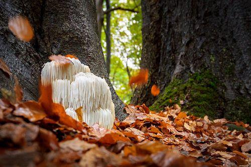 Herfstfoto van  pruikzwam in het bos met vallende herfstbladeren van Fotografiecor .nl