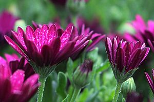 The Purple Beauties